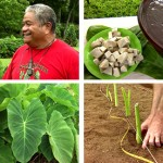 Mlama Hloa &#8211; Protecting the Taro