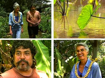 Charles Kupa, Marion Kelly, Ka Papa Loi o Kanewai, Hawaiian culture, Hawaiian agriculture, kalo, taro, taro growing