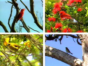 Hawaiian birds, native birds, forest birds, apapane, iiwi, amakihi, elepaio, native species, Hawaiian fauna