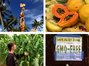 genetic engineering, GMO, Hawaiian culture, kalo, taro, food, papaya, corn, Hawaiian sovereignty, diversification, agriculture