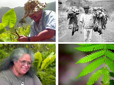 Hawaiian culture, water rights, Hawaiian history, kalo, taro, streams, stream diversion, sugar cane, indigenous rights